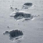 PolarBearTracks