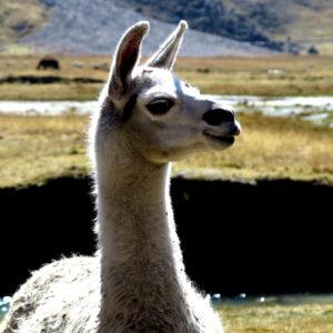 Un lama incuriosito in Bolivia