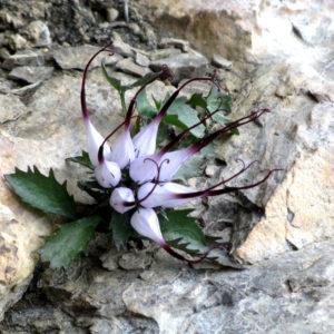 Raponzolo di Roccia, un fiore magnifico e magico nella sua forma e nei colori