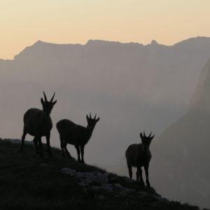 Alpi Giulie - Gola NordEst - Jof Fuart - incontri stambecchi