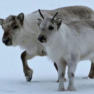 Due renne, curiose e timide
