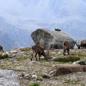 Stambecchi al pascolo nel vallone di Laveciau