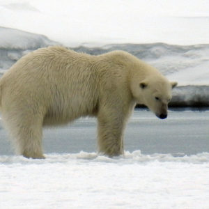 The Polar Bear is looking for food... @ Massimo Candolini