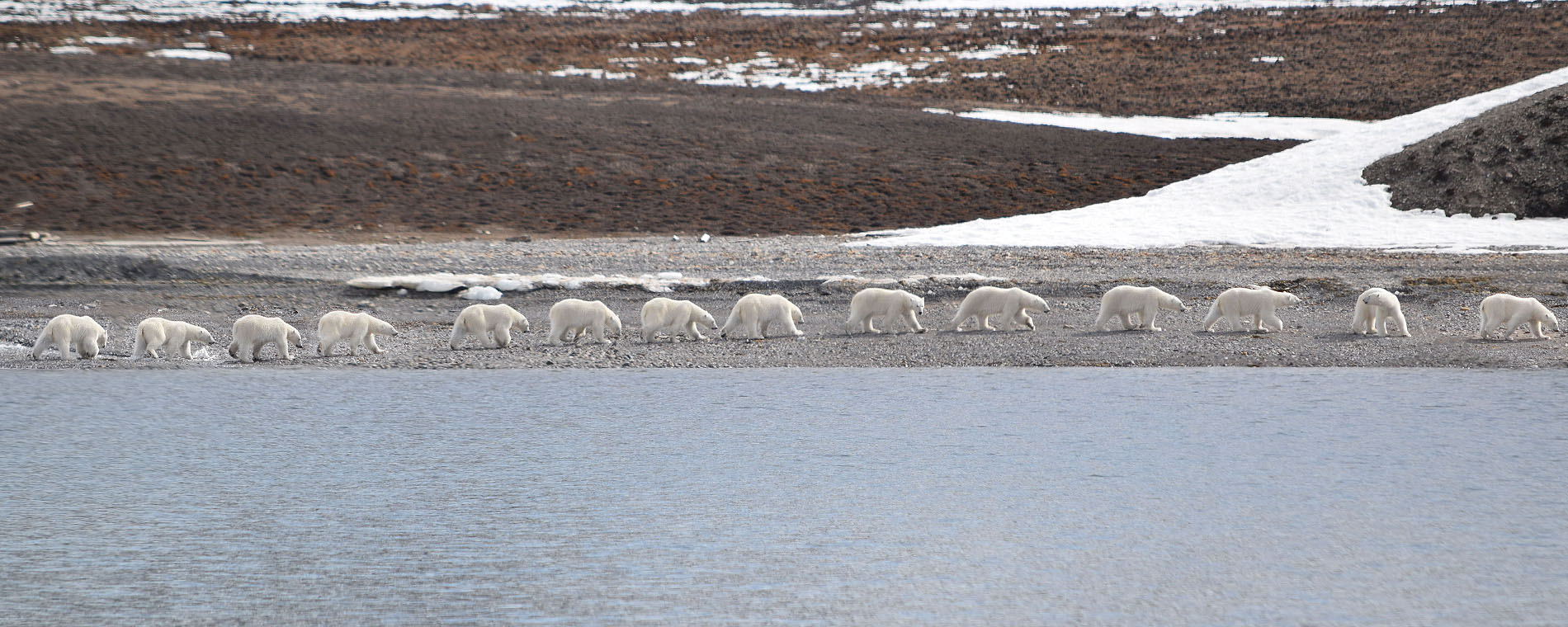 A Polar Bear sequence while is walking on the shore @ Massimo Candolini