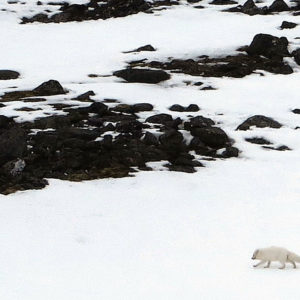 A Polar Fox, quick, opportunist and camouflage @ Massimo Candolini