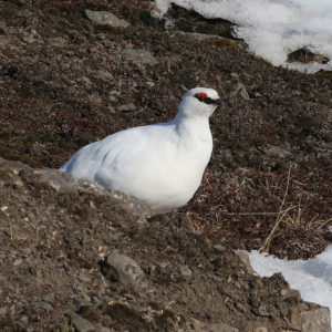 A ptarmigam white coloured at the end of the winter @ Massimo Candolini