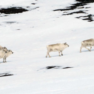 An reindeers herd in North Spitsbergen @ Massimo Candolini