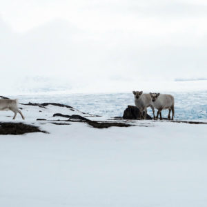Two curious sisters - reindeers in the North Spitsbergen @ Massimo Candolini