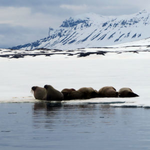 Walrus sleeping on the ice @ Massimo Candolini
